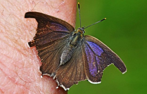 A resting brown and purplish blue butterfly