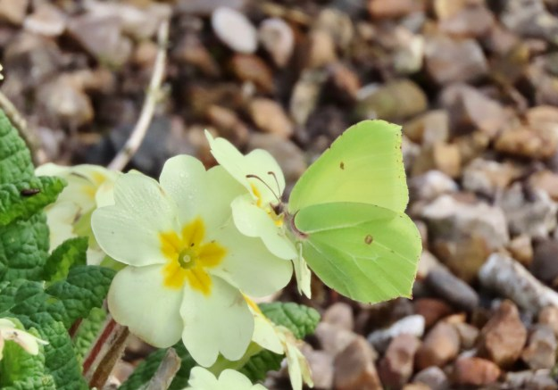 A greenish yellow butterfly nectaring on a yellow primrose flower
