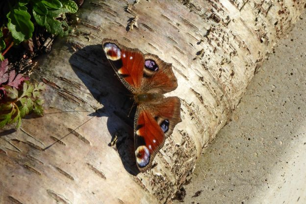 Chestnut brown butterfly with big eye spots, on a silver birch trunk
