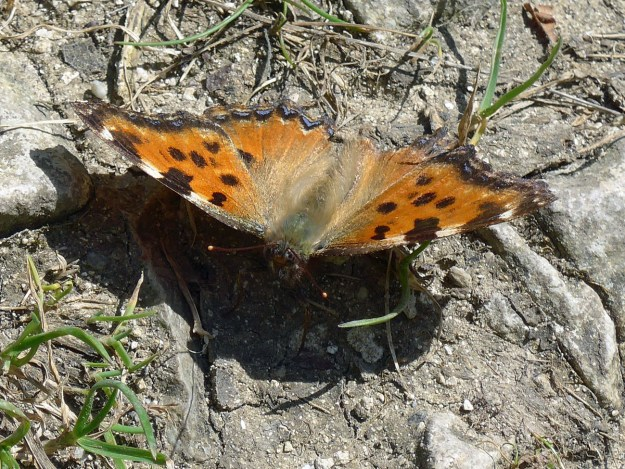 An orange butterfly with black, cream and blue markings