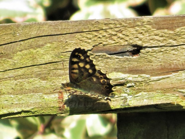 A chocolate brown butterfly with cream markings resting on a timber fence