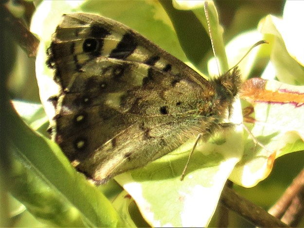 A brown butterfly with cream markings reating on a leaf