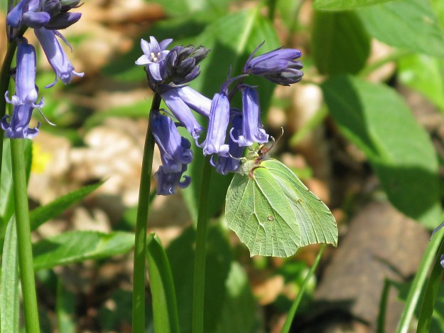 A greenish yellow butterfly nectaring on bluebell flowers