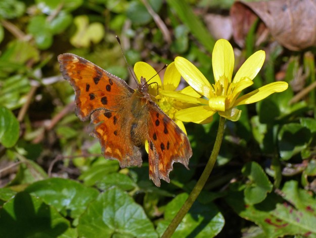 View of an orange butterfly with black and brown markings nectaring on a yellow Celandine flower
