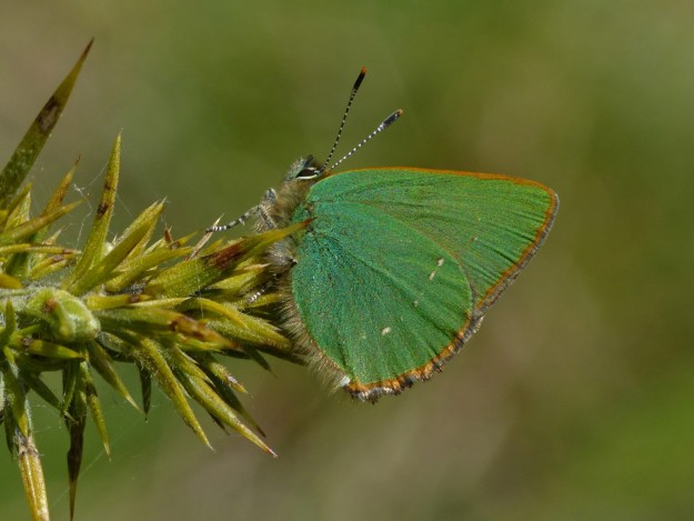 A green butterfly perching on a gorse bush
