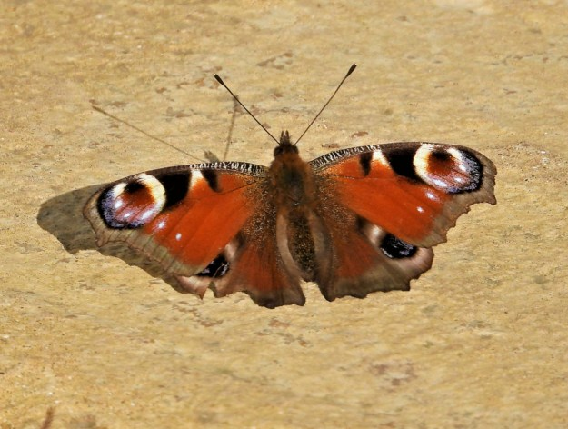 A red butterfly with black, brown, creamy white and blue markings