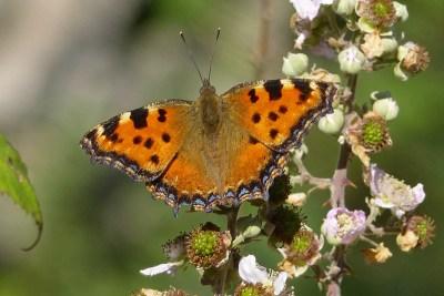 Orange butterfly with dark markings on a bramble