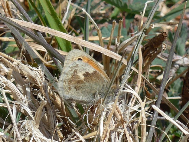 A brownish and orange butterfly resting amongst some vegetation