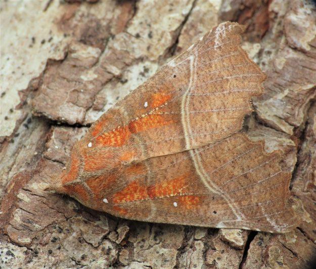 Brown moth with glowing orange markings on forewings