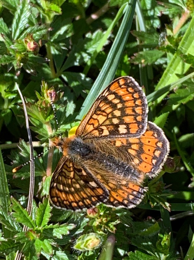 A resting orange butterfly with yellow, brown, black and white markings