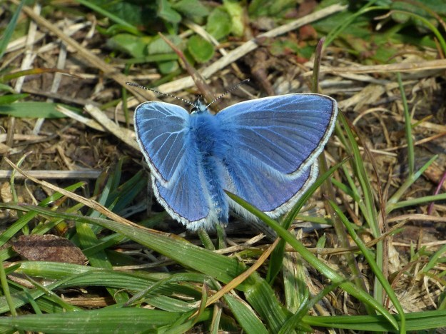 A blue butterfly with white fringe to the wings resting on some vegetation