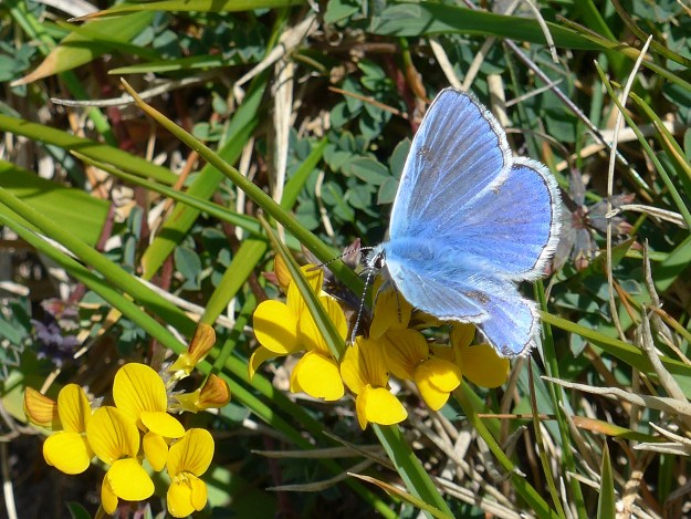 A blue butterfly with some white markings nectaring on a yellow flower