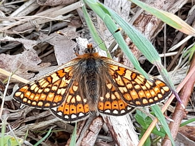 View of a resting mainly orange butterfly with yellow, black and white markings