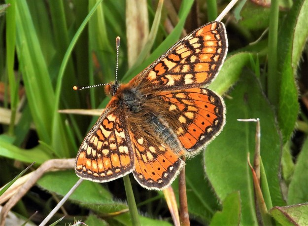 An orange butterfly with yellow, black and white markings resting on some vegetation