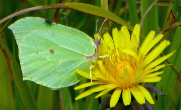 A greenish yellow butterfly nectaring on a yellow flower