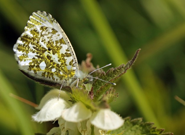 A perching white butterfly with green markings