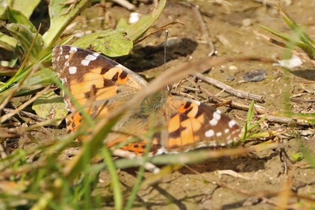 An orange butterfly with black, brown and white marking resting on the ground