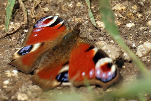 A red butterfly with brown, black, blue and creamy white markings resting on the ground