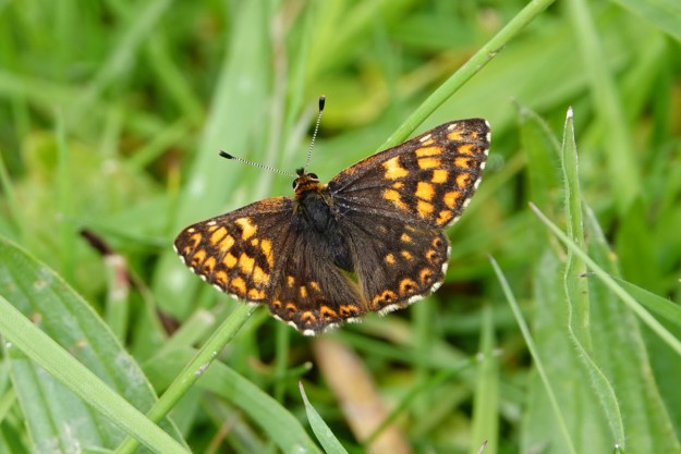 An orange and brown butterfly with some black and white markings resting on green vegetation