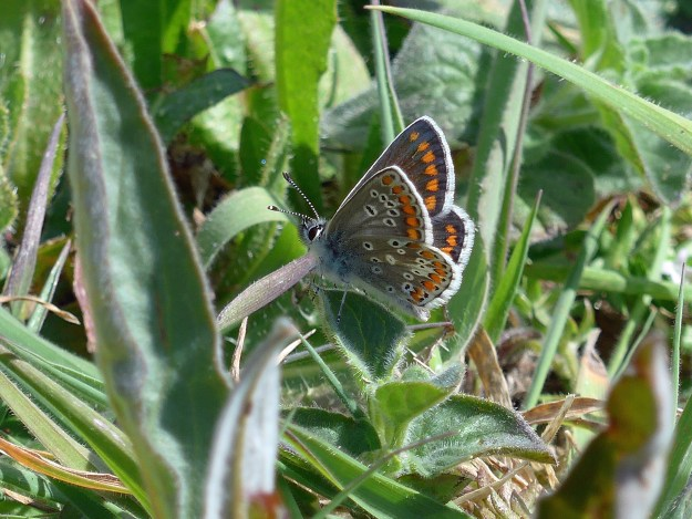 A brown butterfly with orange, black and white markings resting on green vegetation
