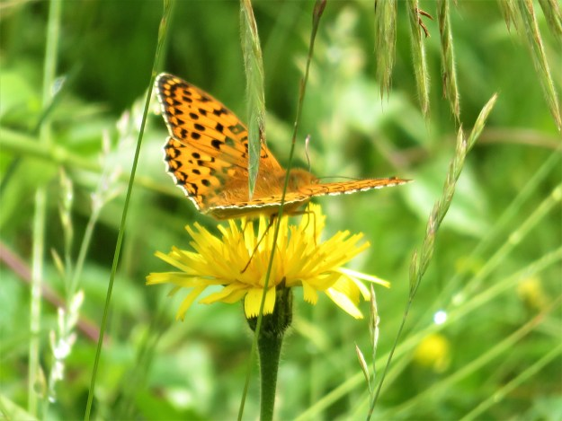 View of an orange butterfly with black markings on a yellow flower