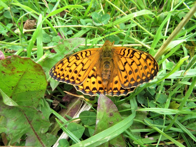 View of an orange butterfly with black markings resting on some green vegetation