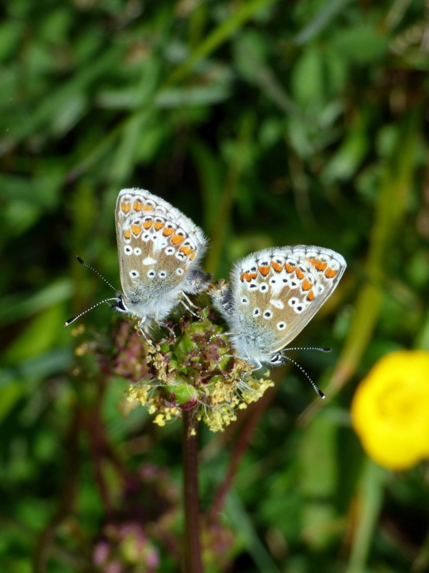 View of two pale brown butterflies with blue, white, orange and black markings
