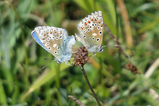 View of two blue and pale brown butterflies with orange, black and white markings on the brown seedhead of a plant