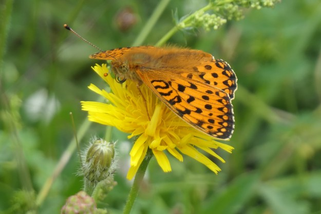 An orange butterfly with black markings nectaring on a yellow flower
