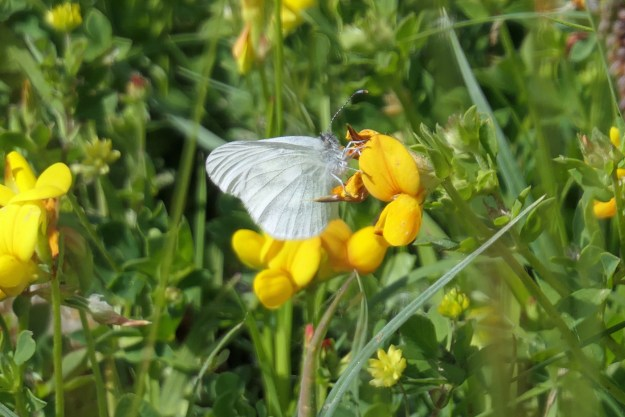 A white butterfly resting on a yellow flower