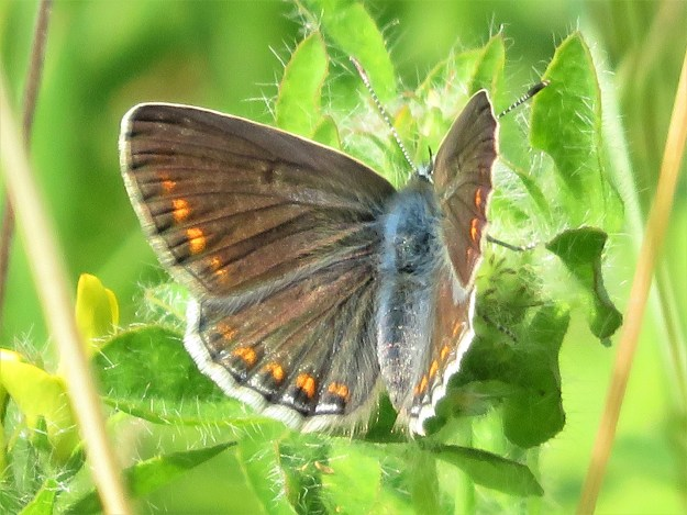 A brown butterfly with orange, black and white markings resting on a green leaf