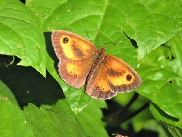 A brown, yellow and orange butterfly with black and white markings on a green leaf