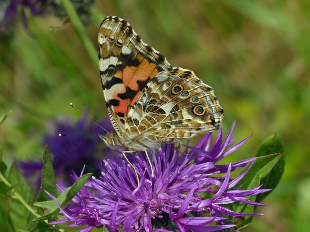 An orange and brown butterfly with black and white markings on a purple flower