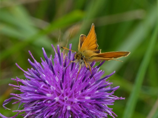 A golden brown butterfly nectaring on a purple flower