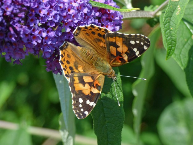 An orange butterfly with black and white markings on a purple flower