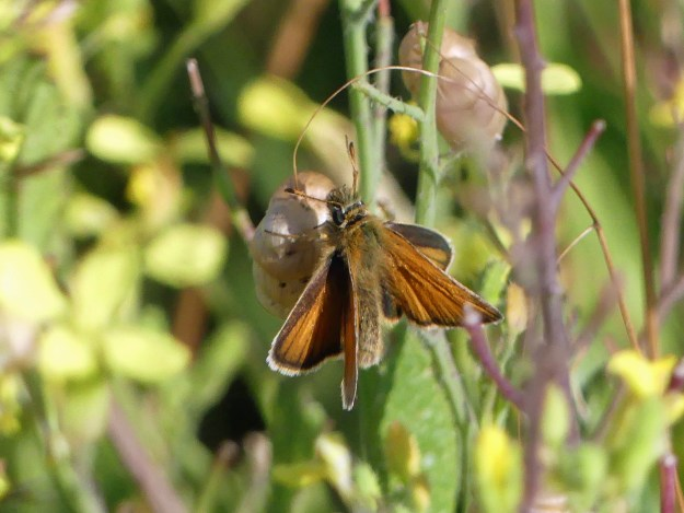 A golden brown butterfly resting on some green vegetation