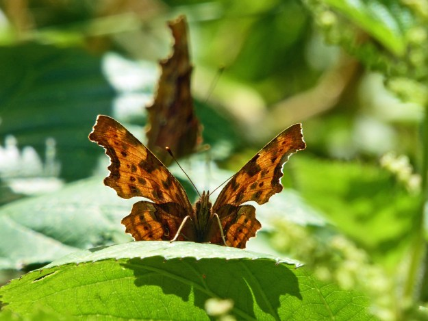 An orange butterfly with black markings on a green leaf