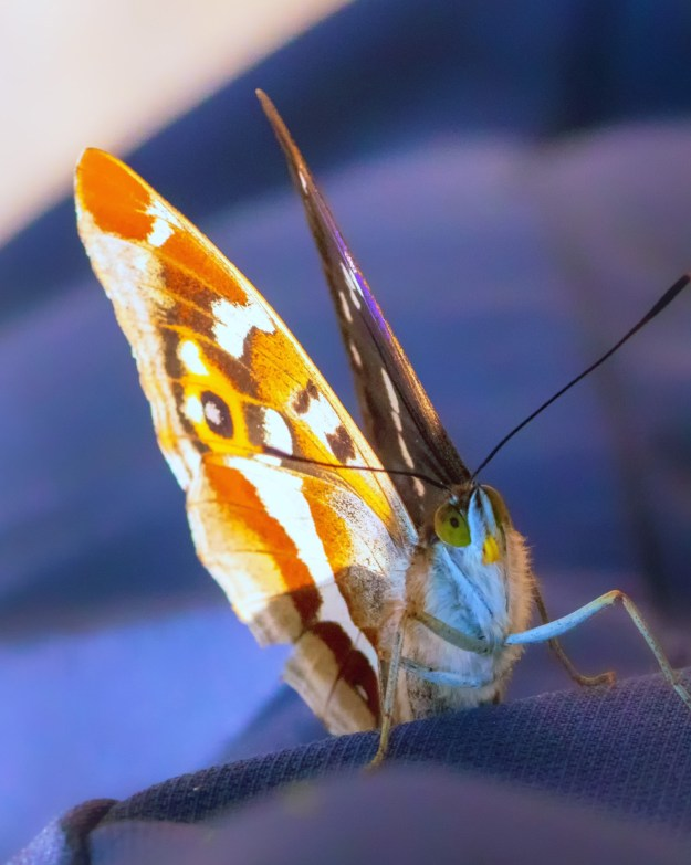 A brown, purple and orange butterfly with black and white markings resting on the rear window of a car