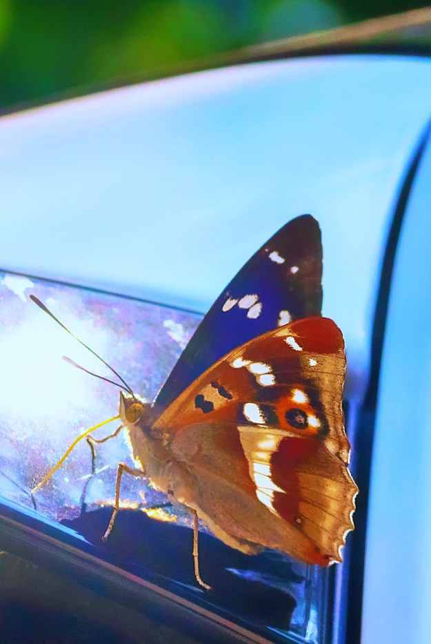 View of a brown and purple butterfly with orange, white and black markings resting on the rear window of a car