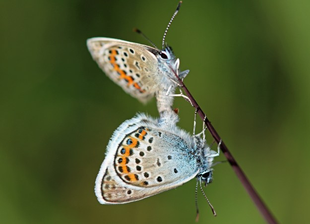 A view of two mating blue and greyish brown butterflies with orange, black and white markings