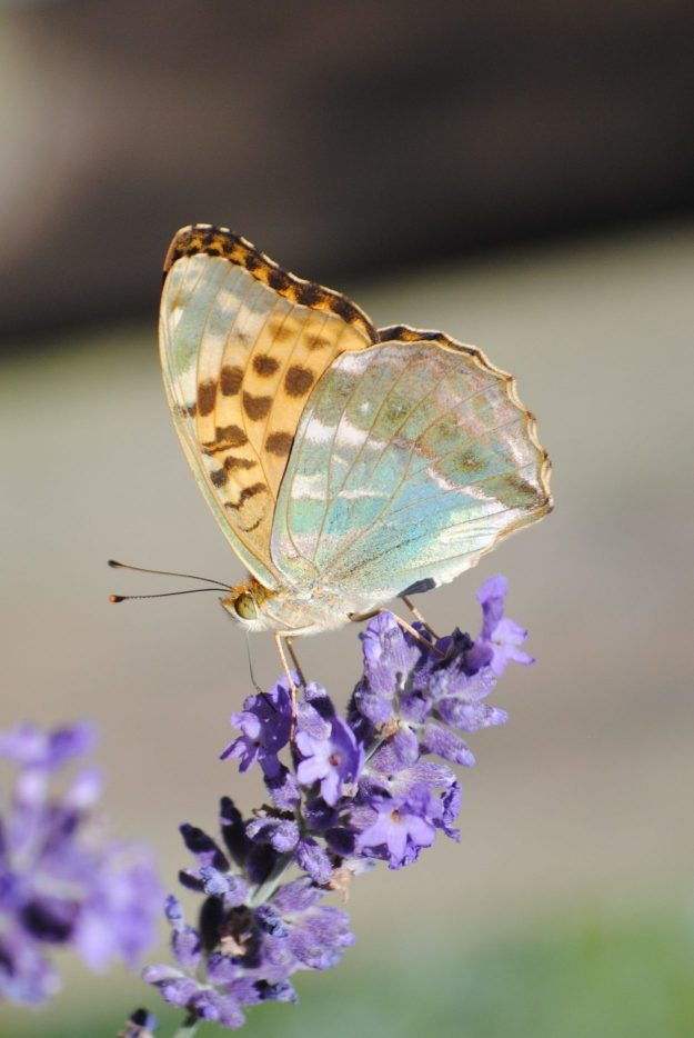 An orange butterfly with a greenish tinge and brownish black markings nectaring on a purple flower