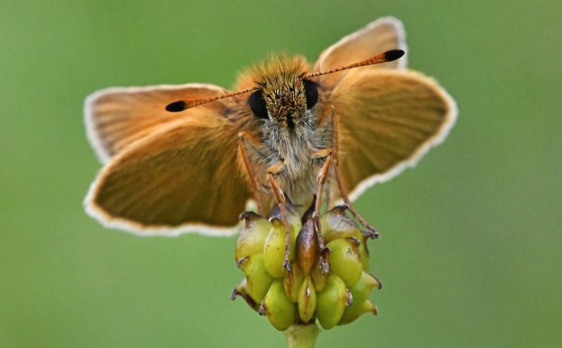 A gplden brown butterfly resting on the seed head of a plant