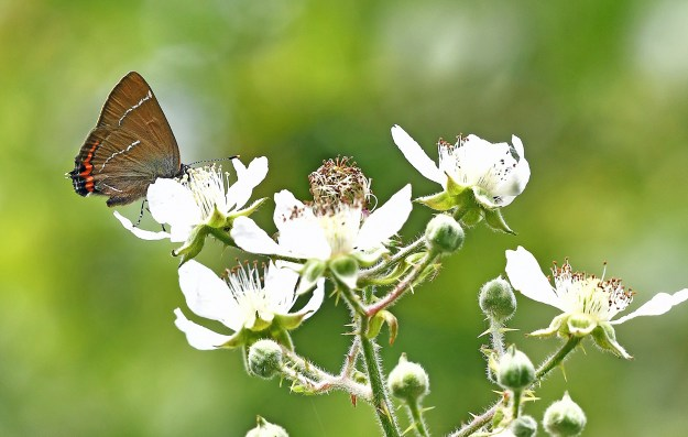 A brown butterfly with black, white and orange markings nectaring on a white flower
