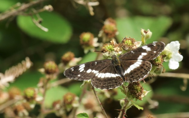 View of a dark brownish black and white buttefly resting on white bramble flowers