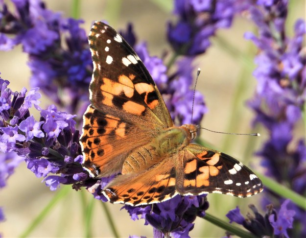 An orange butterfly with black and white markings nectaring on a blueish, purpled coloured flower