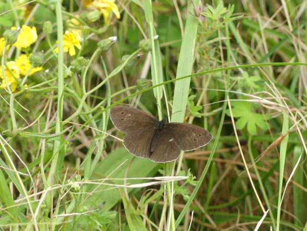 A dark brown butterfly with some black spot markings resting on green vegetation