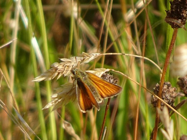 View of a golden orange butterfly resting on a pale brown seed head