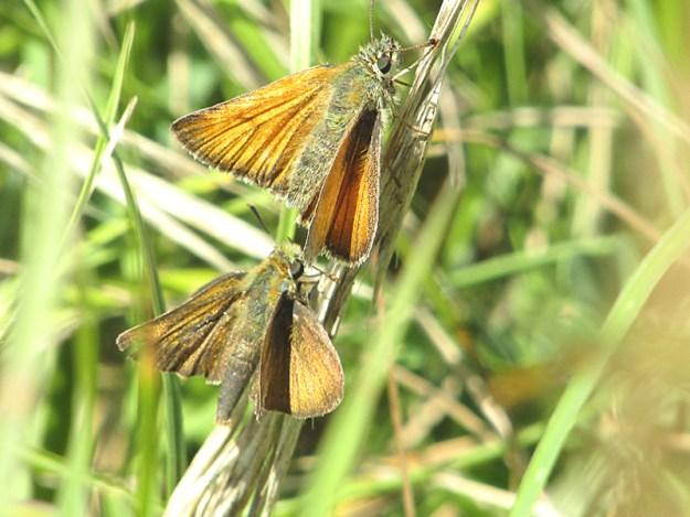 Two brown butterflies resting on green vegetation