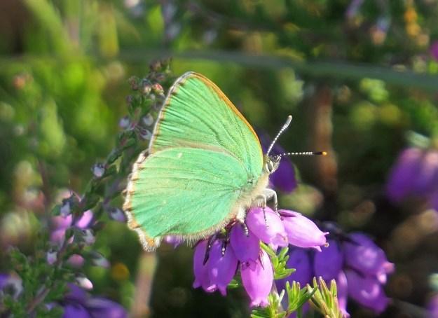 A green butterfly on a purple flower