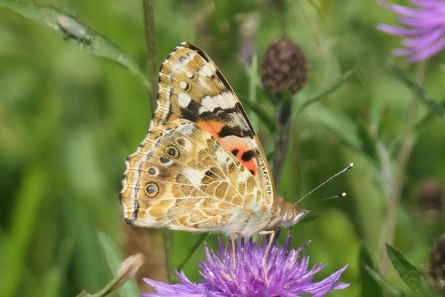 A side view of a brown and orange butterfly with black and white markings nectaring on a purplish pink flower